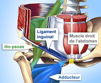anatomie-pubalgie