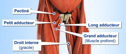 shema-anatomie-des-adducteurs